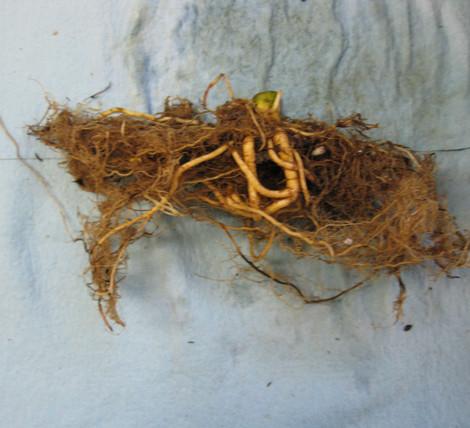 Bad Roots (8).JPG