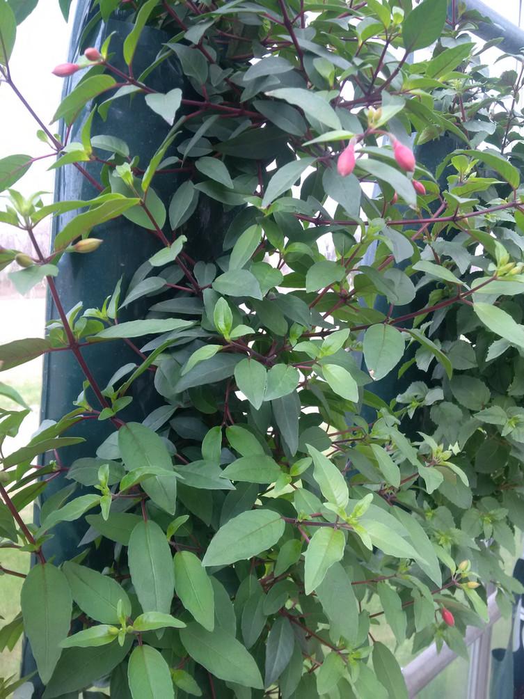 Fuschia @ Terra Greenhouses