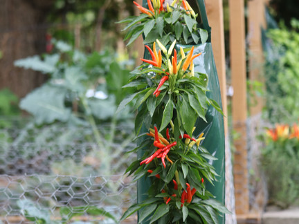Festive decorative chilies