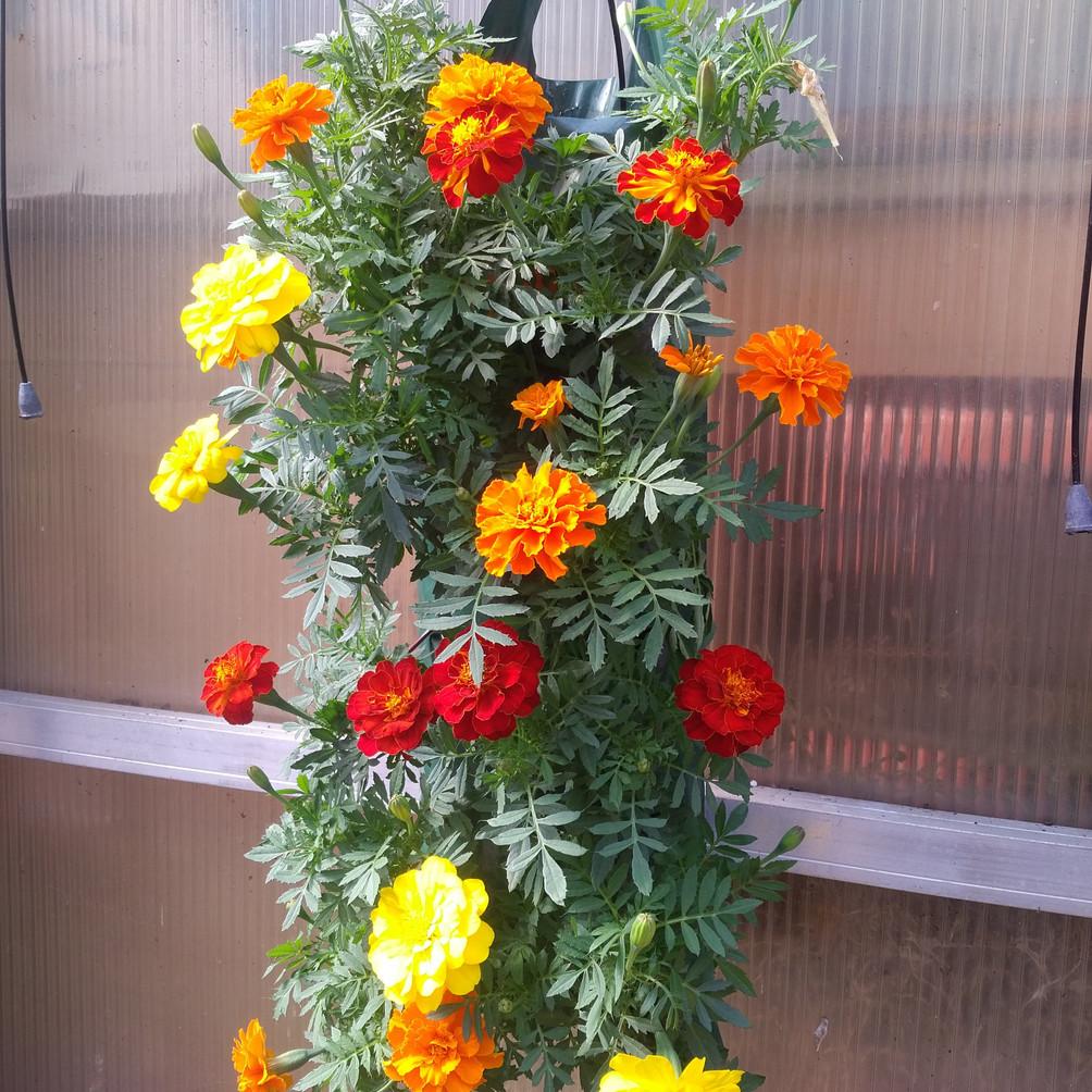 Have you tried marigolds? @ VanTimmeren Greenhouses