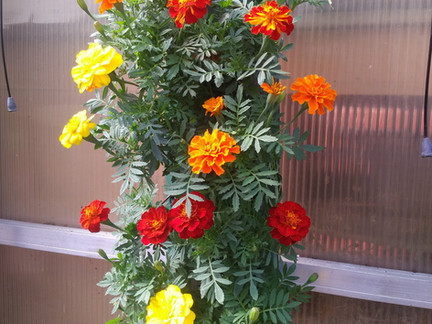 Cheerful Marigolds