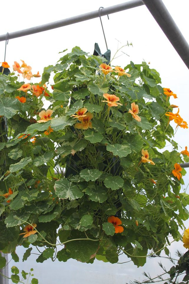 Add a little something extra to the vegetable garden with nasturium pouches