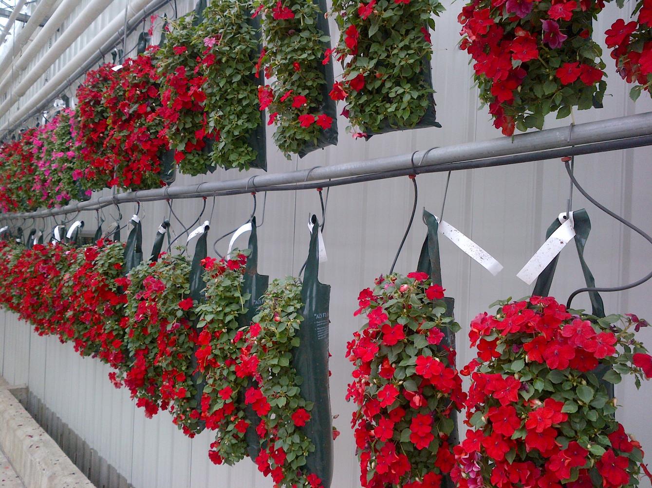 Impatiens, Terra Greenhouses, Waterdown, ON