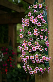 Can-Can Calibrachoa