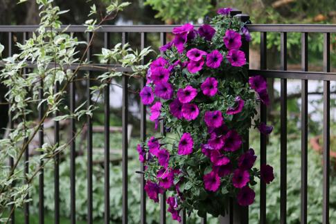 Petunias, Terra Greenhouses