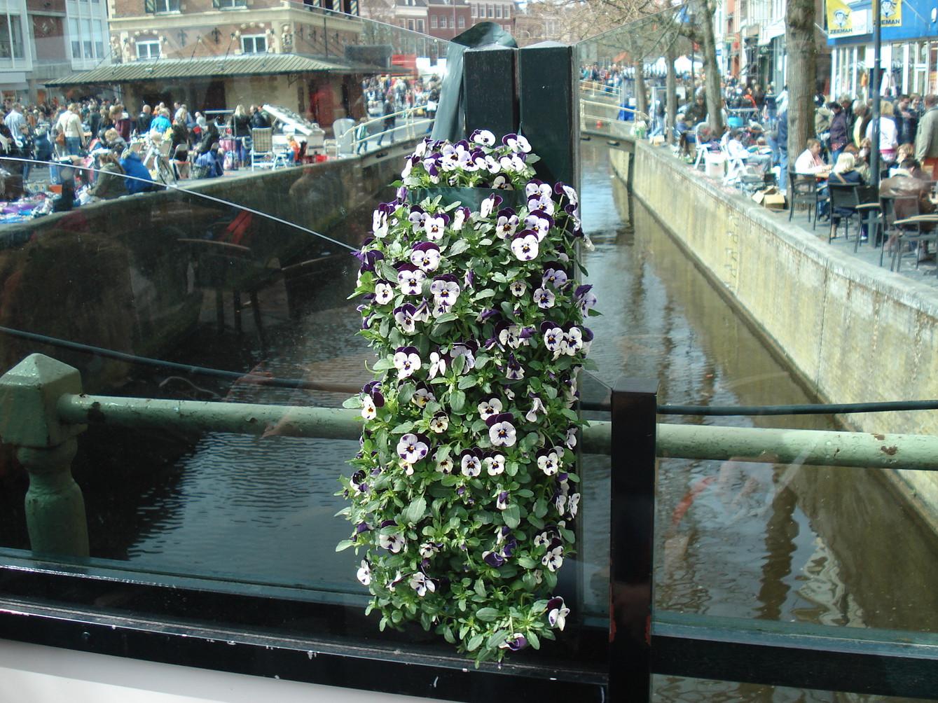 Violas in Leeuwarden, NL