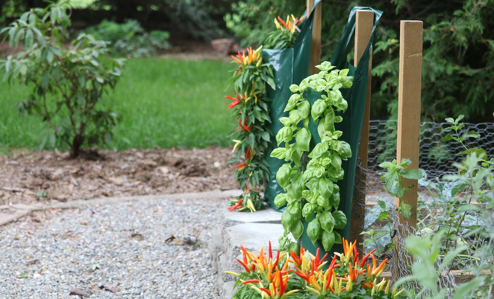 Basil & Decorative Chilies