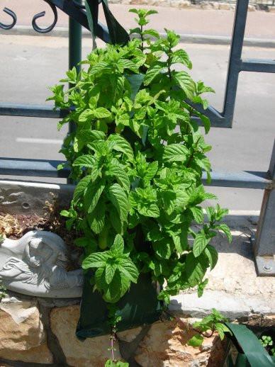 Fresh mint, Moshe Bar, Israel