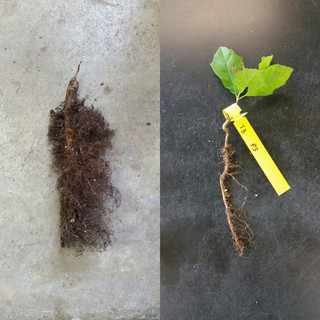 Tree Comparison AMA June 28 2016.jpg