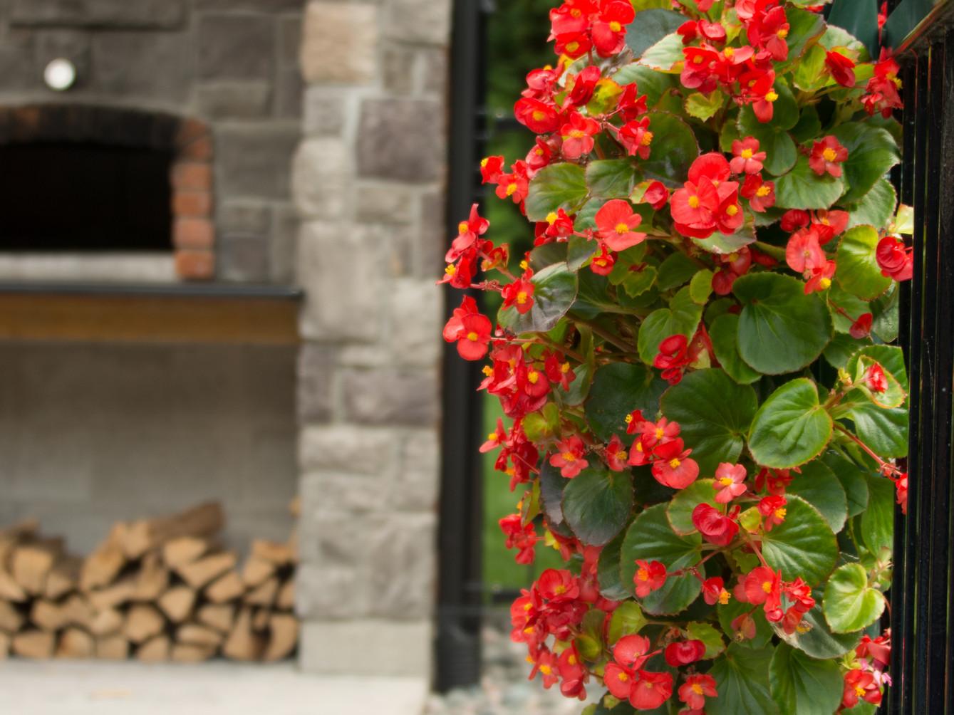Red begonias make patios pop