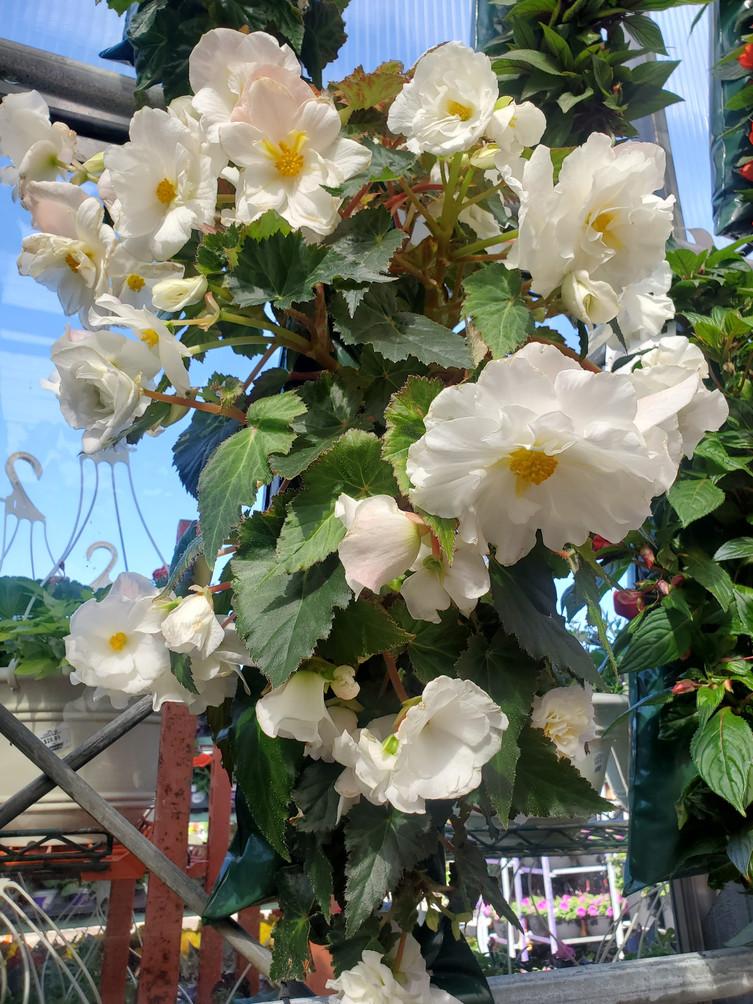 Begonias @ Terra Greenhouses