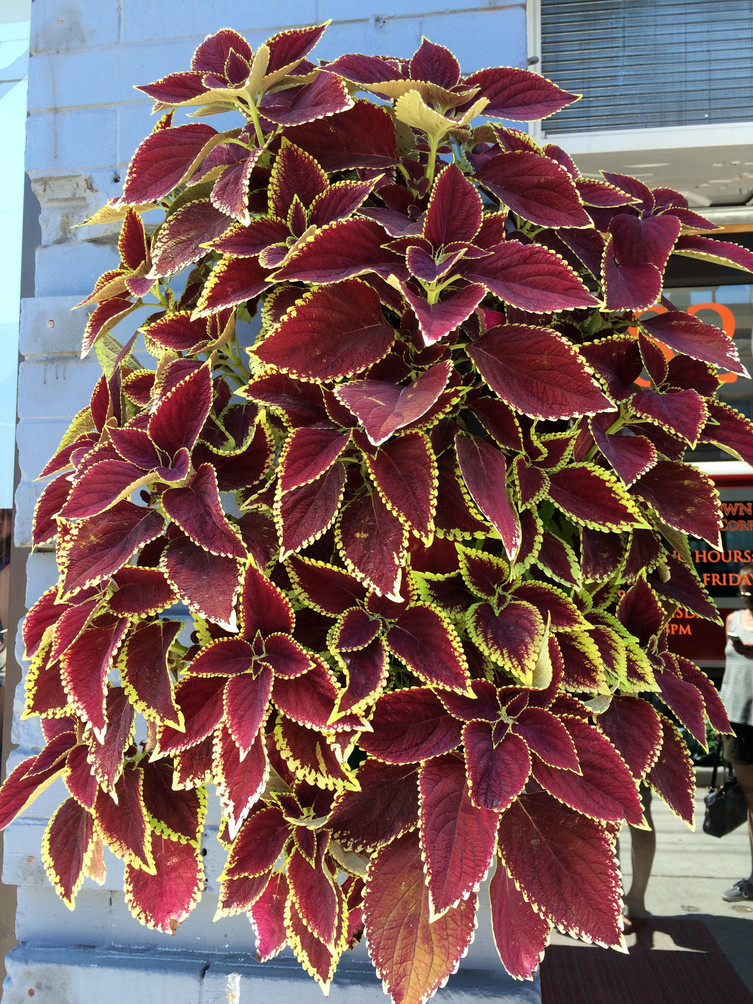 Coleus pouches spotted in Toronto