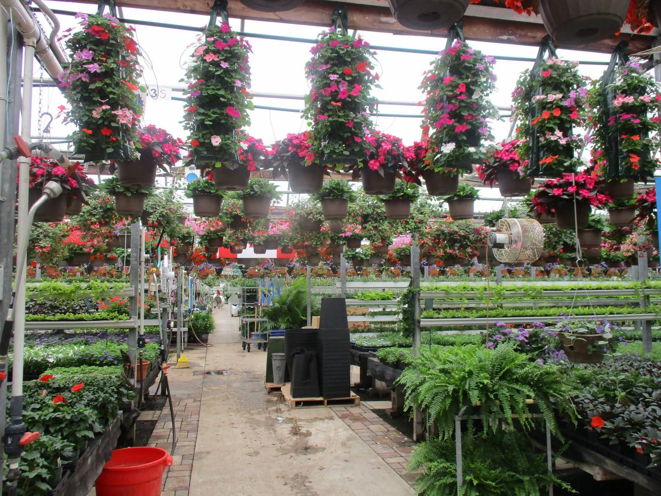 Impatien pouches @ Riverside Greenhouses