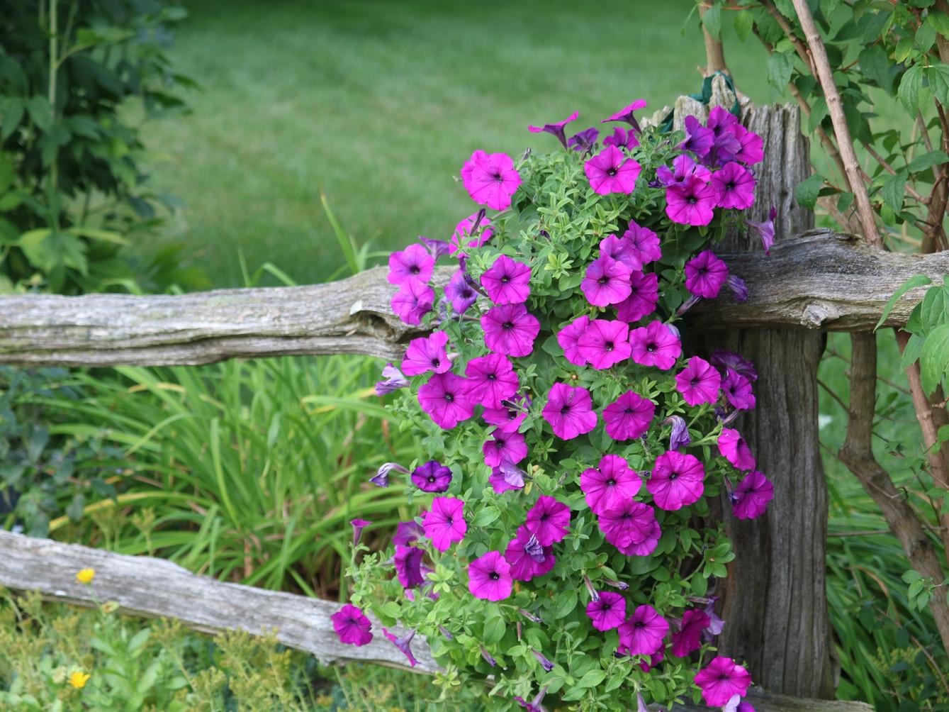 Petunia pouches make your garden pop