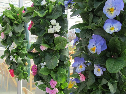 Primulas and Pansies