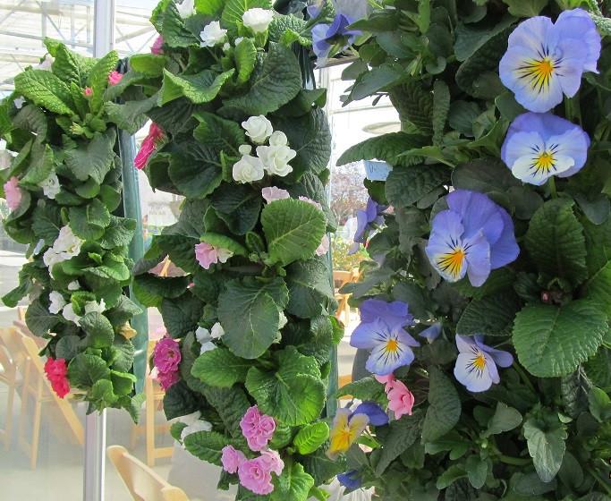 Primulas and Pansies