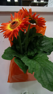 Gerberas in Al's Flower Pocket