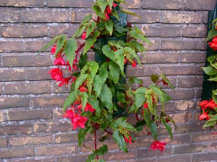 Dragon Wing Begonia, Dantumadiel, NL