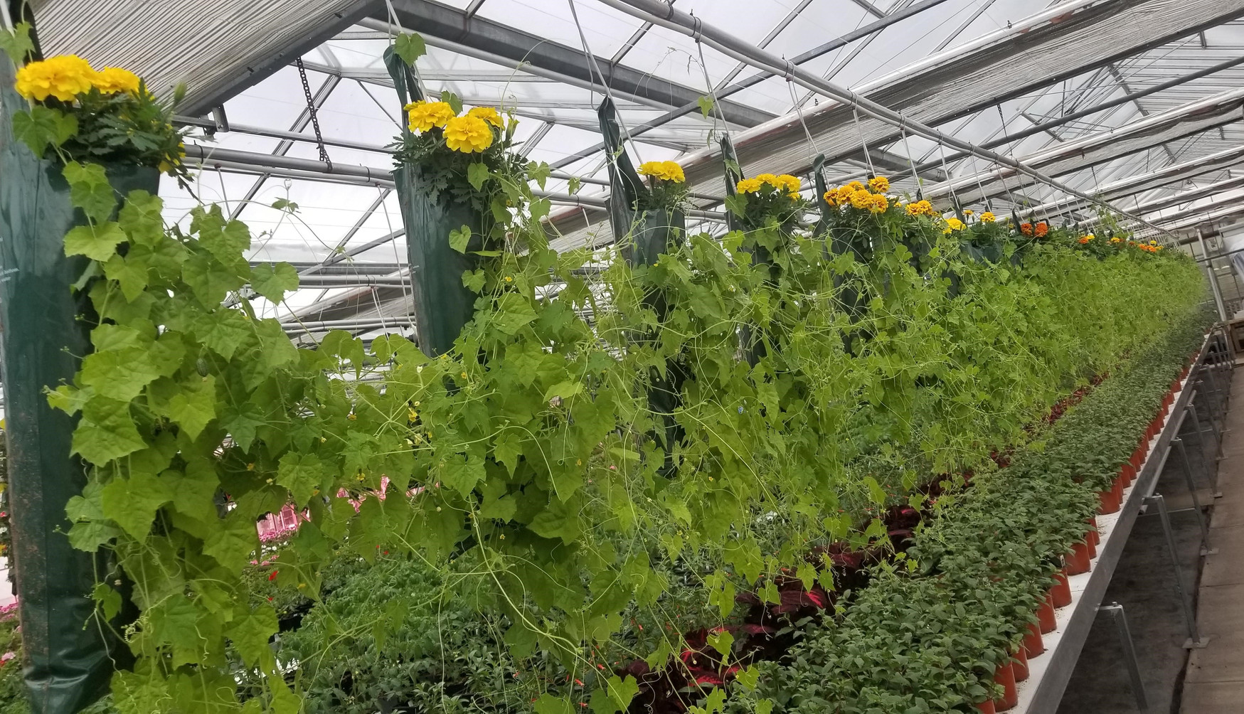 Getting creative with cucamelon @ Thiel's Greenhouses