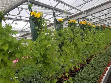 Cucamelon, Thiel's Greenhouses