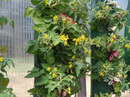 Tomatoes and Coleus, VanTimmeren Greenhouses