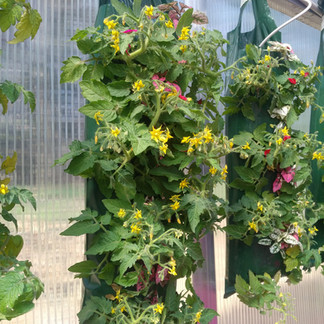 Tomatoes and Coleus, VanTimmeren Greenhouses