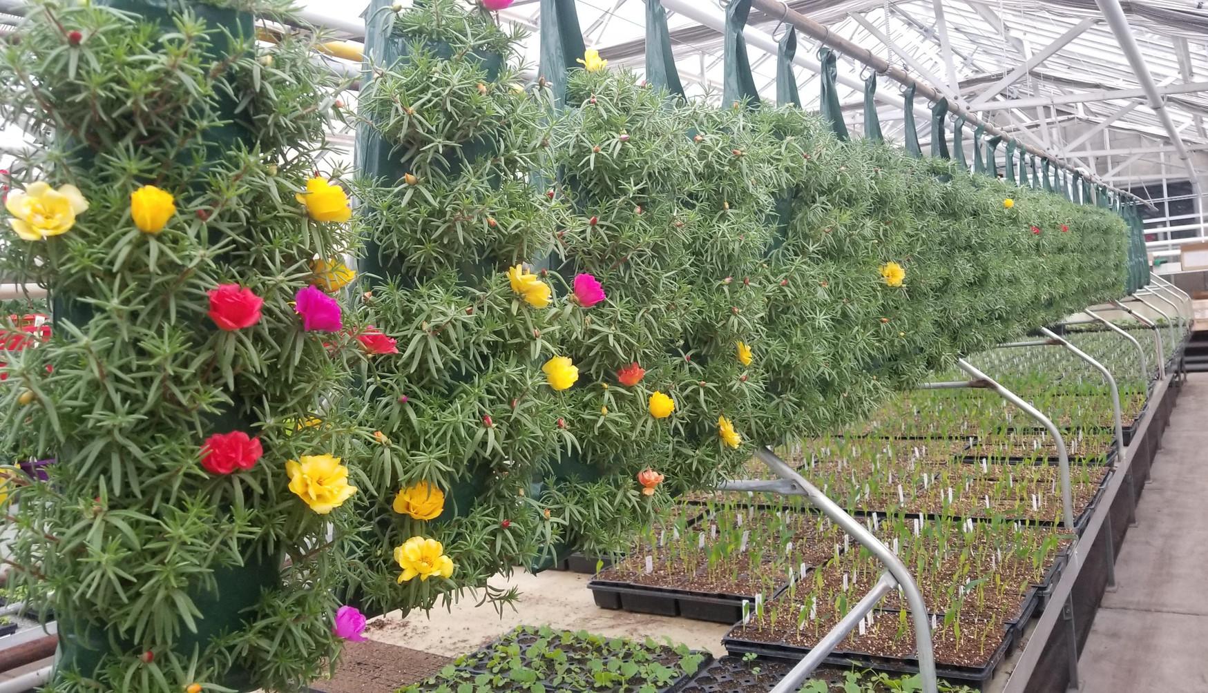 Peppy Portulaca @ Thiel's Greenhouses