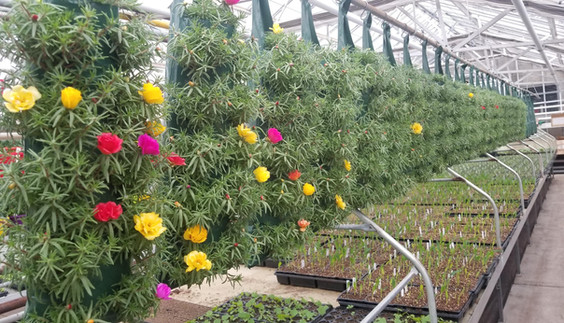 Peppy Portulaca @ Thiel's Greenhouses