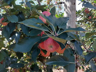 Colheita da maçã em Fraiburgo