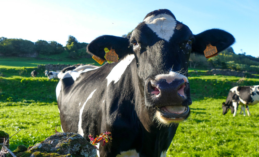 Freisan cow.jpg