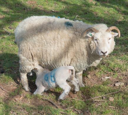 Whiteface Dartmoor sheep.jpg