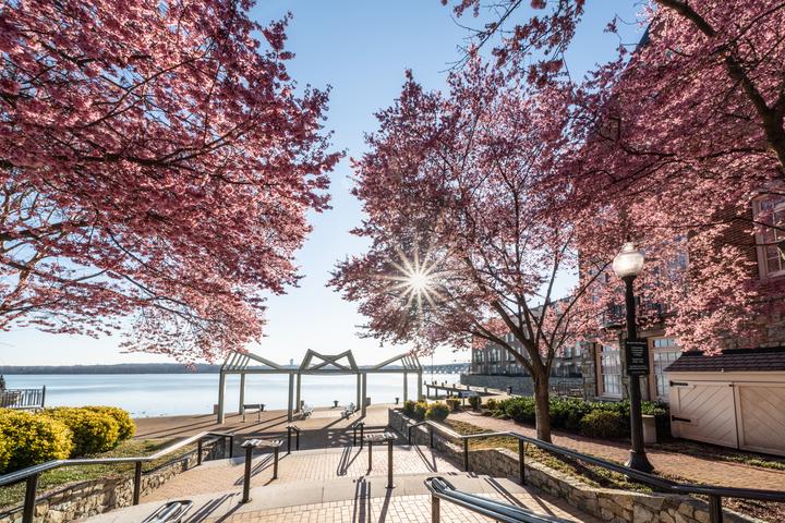 6 Ways to Experience Cherry Blossom Season in Alexandria