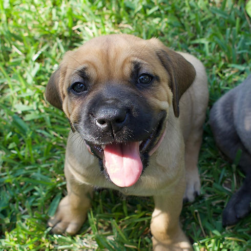 Best Cane Corso Breeder Near Me Cane Corso Puppy.jpg