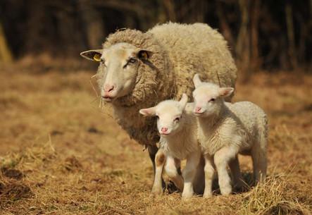 ovce2-2.jpg
