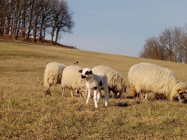 ovce3.jpg