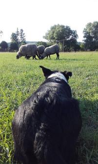 Kája si hlídá ovečky