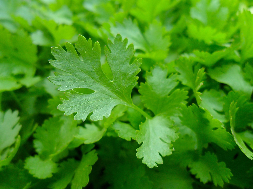 Culinary and medicinal herbs are great for natural, holistic healing.