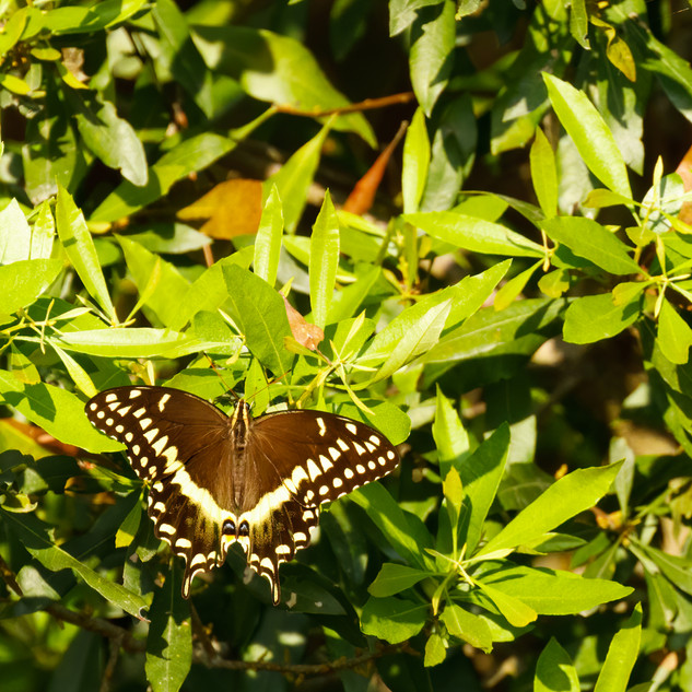 Black Swallowtail_.jpg