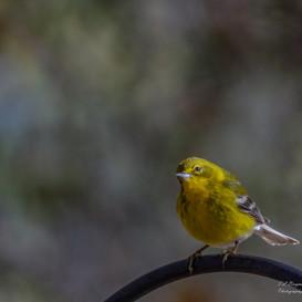 Pine Warbler on feeder