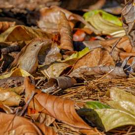 House Wren in leaf litter
