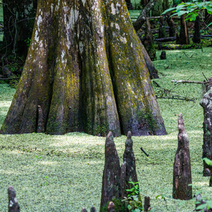 Cypress swamp with knees