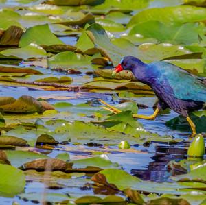 America Purple Gallinule strutting