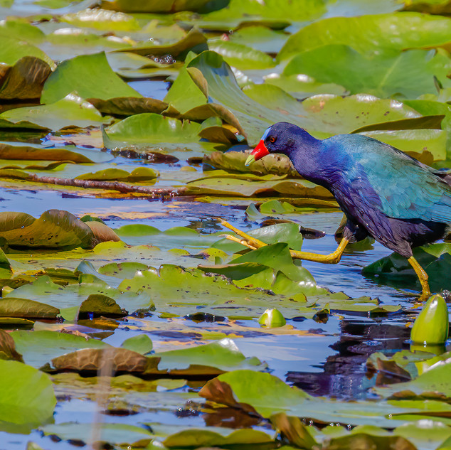 America Purple Gallinule strutting