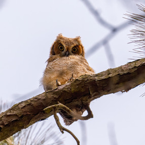 Baby Owl Whose there