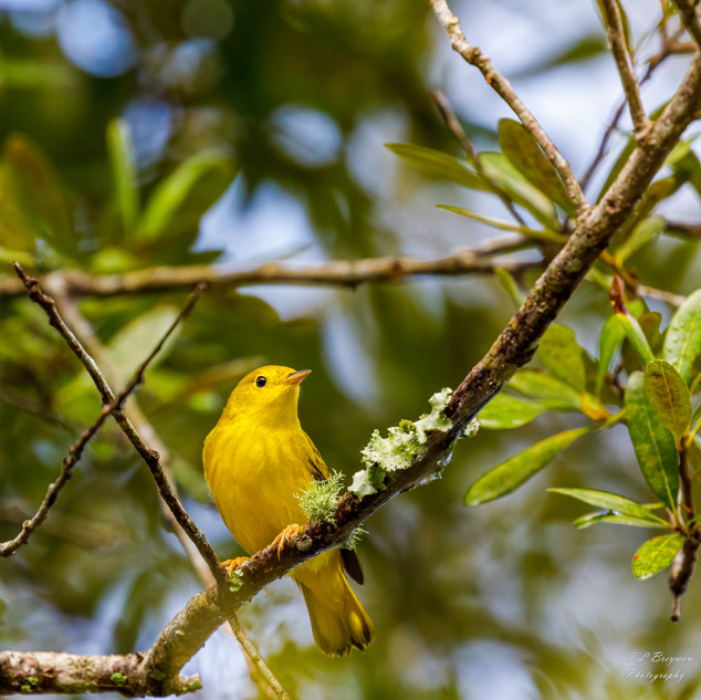 Yellow Warbler perching