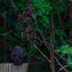 Catbird in shade.jpg
