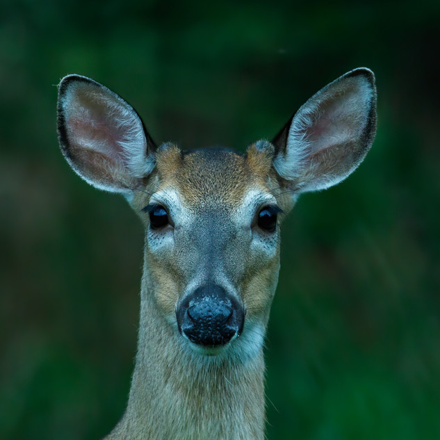 White-tailed Deer budding antlers