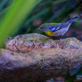 Northern Parula in birdbath