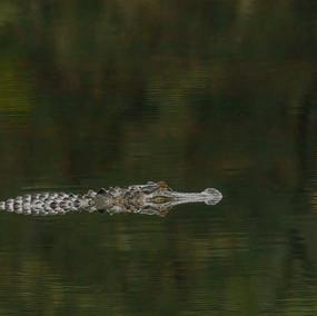 January alligator