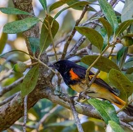 American Redstart male 2